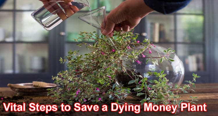 Vital Steps to Save a Dying Money Plant 2021
