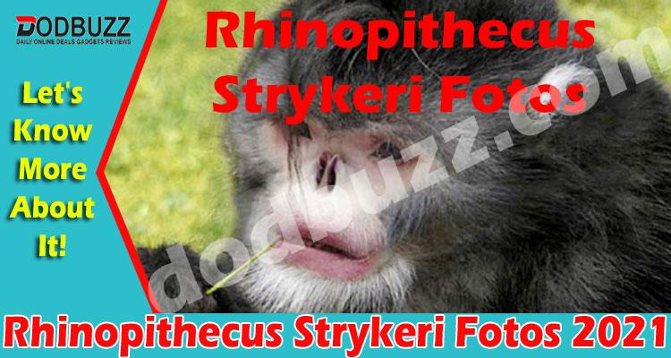 Rhinopithecus Strykeri Fotos