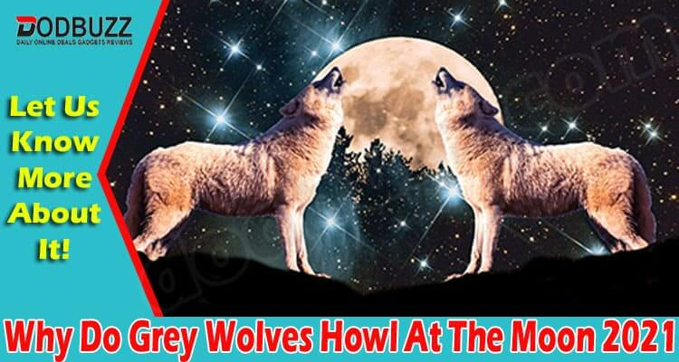 Why Do Grey Wolves Howl At The Moon 2021