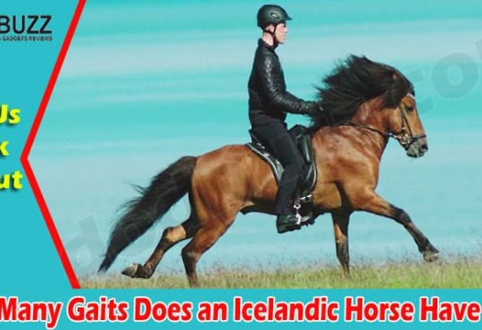 Latest News Gaits Does an Icelandic Horse Have